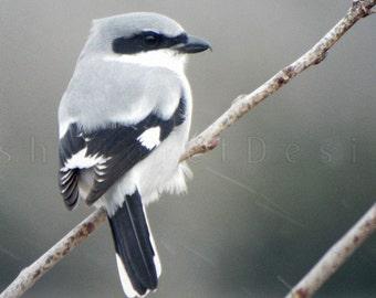 Shrike Bird Photography Print, Nature Photography, Wildlife Photography, Gray Photography, Bird Art, Winter Art, 8x10 11x14 12x16 16x20 inch