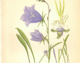1905 Vintage Botanical Print, Antique Bellflower Print, Vintage Bellflower Print,  Purple flower, Antique Botanical Print, Botanical Decor