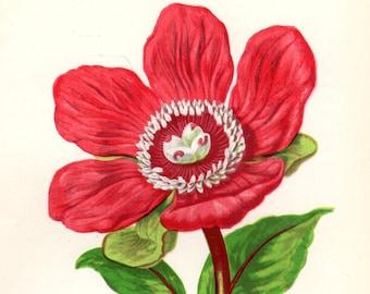 1896 Matted Vintage Botanical Print Red Peony Anne Pratt Vintage Flower Home DecorAntique Botanical Print  Antique Botanical Print