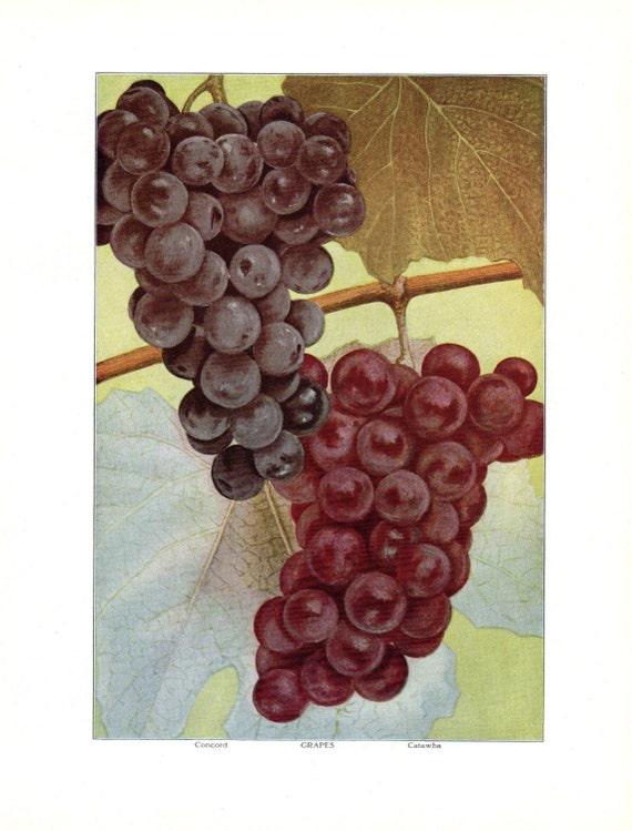 Antique Food Print Fruit Print Grapes Kitchen Decor 11 X 8 1/2 | Etsy
