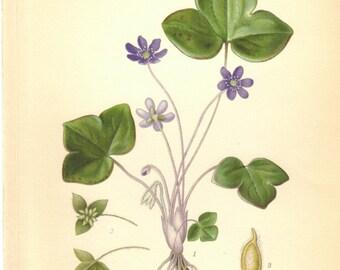 1905 Vintage Botanical Print, Anemone Print,  Purple Flower Print, Antique Botanical Print, Botanical Decor