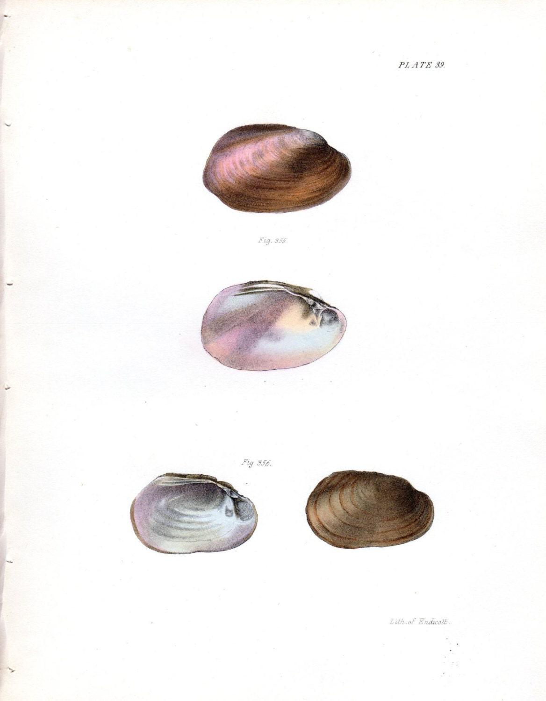 1843 Shells Antique Print Shell Nautical Art Antique Print