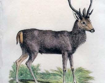 1826 Antique Deer Print, Asian Deer, Mayalan Rusa, Vintage Deer Print
