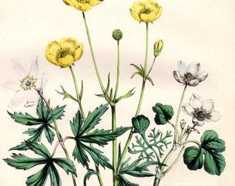 1846 Vintage Botanical Print Anemone Buttercup Yellow Flowers Jane Loudon