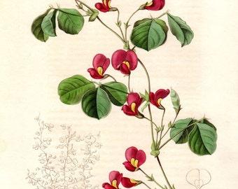 Antique Botanical Print 1840 Vintage Botanical Print Maund Botanist Red Crimson Hand Colored Engraving