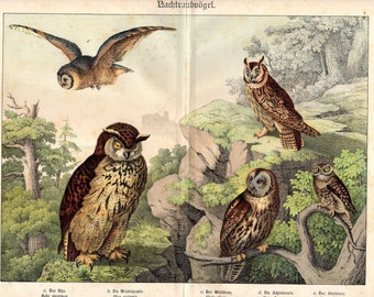 1886 Antique Owl Print Birds Natural History Large German Lithograph 16 X 13 Inches Vintage Bird Print