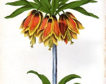 Crown Imperial 1846 Vintage Botanical Print Plate Monthly Flora Magazine Home Decor  Antique Botanical Print