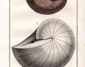 1802 Antique Nautilus Shells Print Sea Shell Mollusks Buffon Plate 46