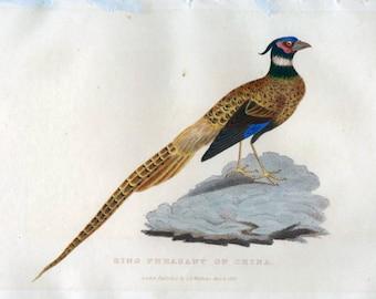 1829 Ring Pheasant of China Print, Pheasant print, Cuvier, Antique Pheasant Print, Vintage Bird Print, Antique Bird Print