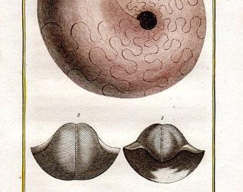 1802 Antique Ammonite Nautilus Shells Print Sea Shell Mollusks Buffon Plate 50