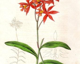 1840 Epidendrum Red Maund Botanist Vintage Botanical Print Hand Colored Plate  Antique Botanical Print