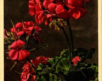 Flower, Geranium, Swiss Printed, Fine Quality, Vintage Postcard TOP641509
