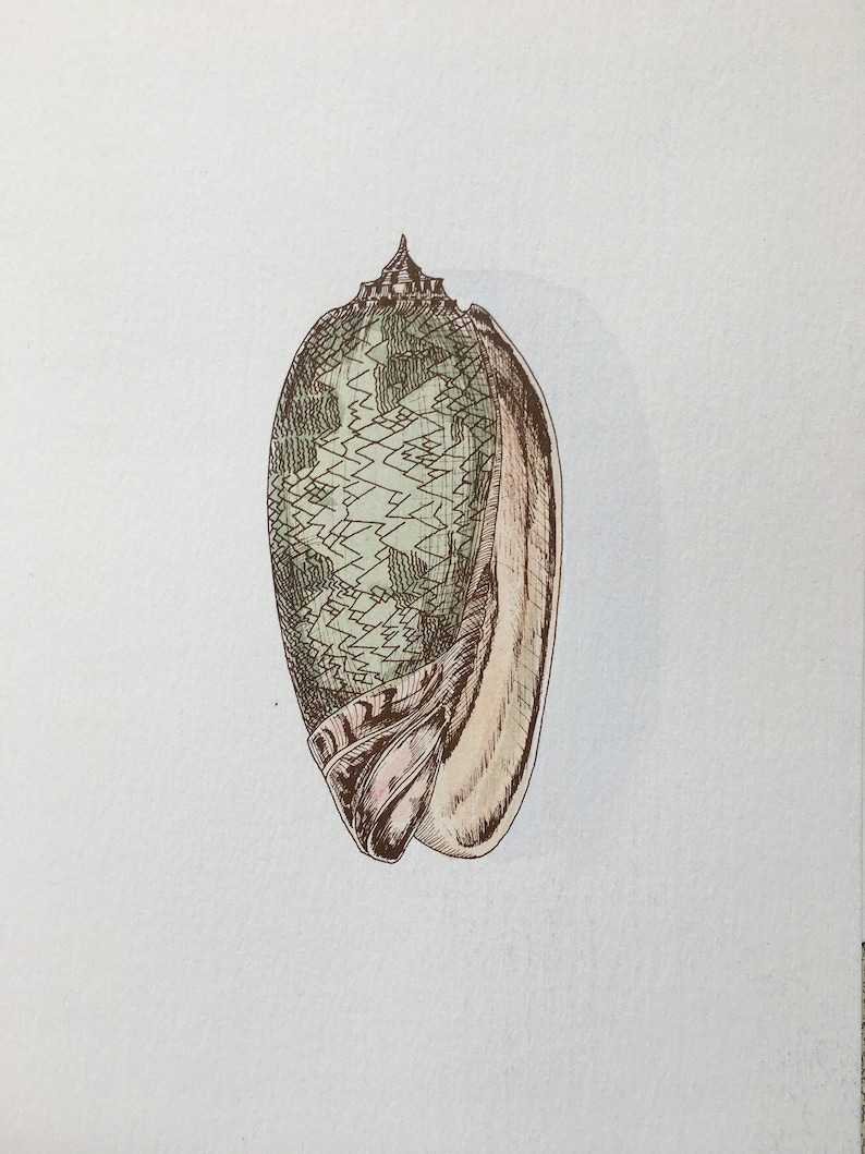Small shell hand coloured print