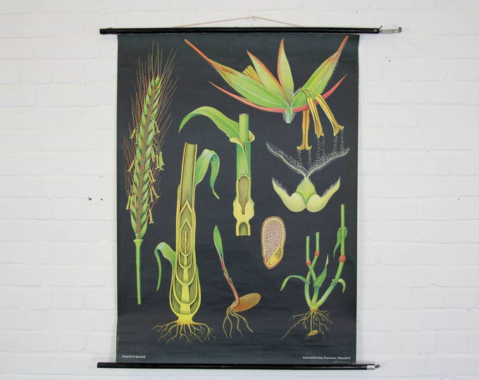 Botanical Wall Chart Grasses By Jung Koch Quentell