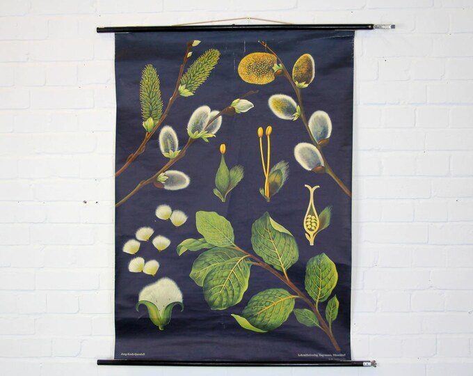Botanical Wall Chart Pussy Willow By Jung Koch Quentell