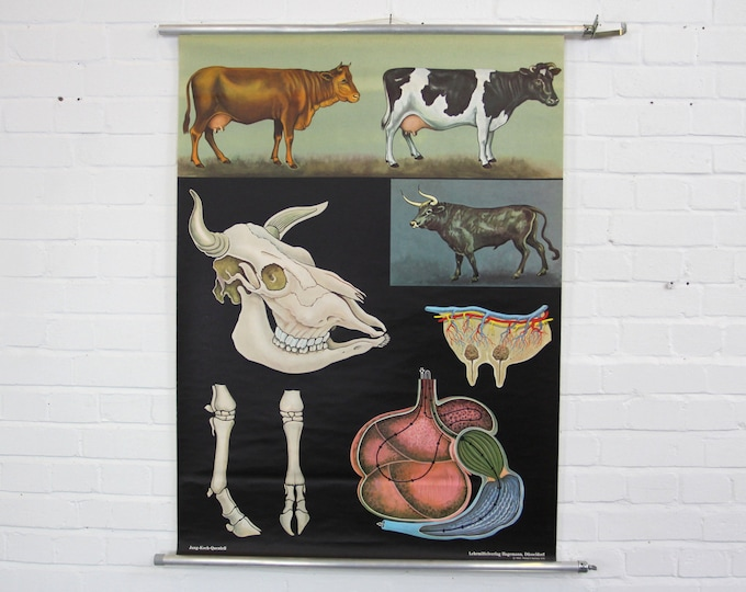Wall Chart Of The Cow By Jung Koch Quentell