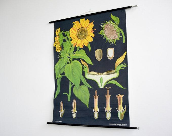 Wall Chart Of The Sunflower By Jung Koch Quentell