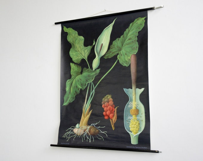 Wall Chart Of The Arum Lily By Jung Koch Quentell