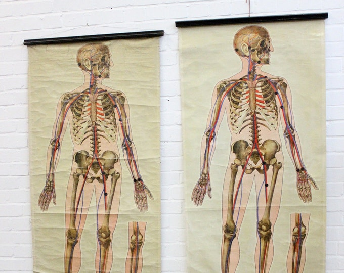 St Johns Ambulance Anatomical Chart Of The Human Skeleton Circa 1930's
