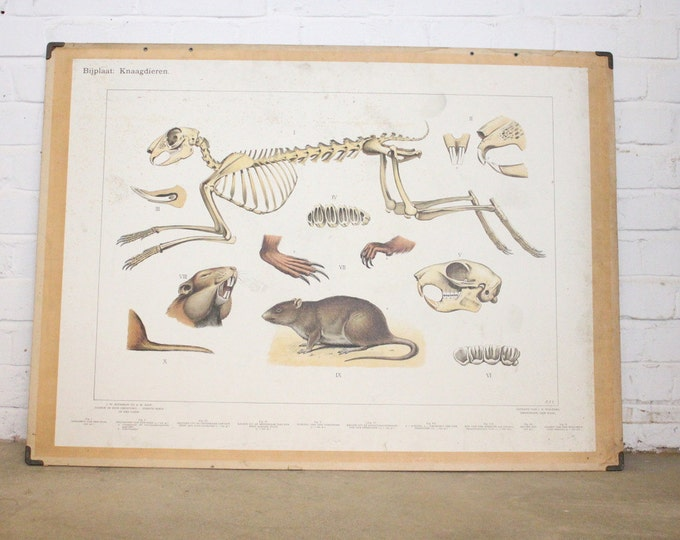 Large Anatomical Chart Of The Rodents Circa 1930's