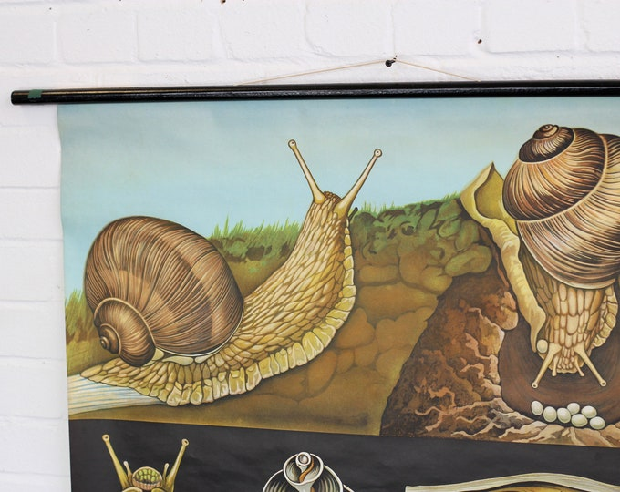 Educational Chart Of The Snail By Jung Koch Quentell Circa 1960s