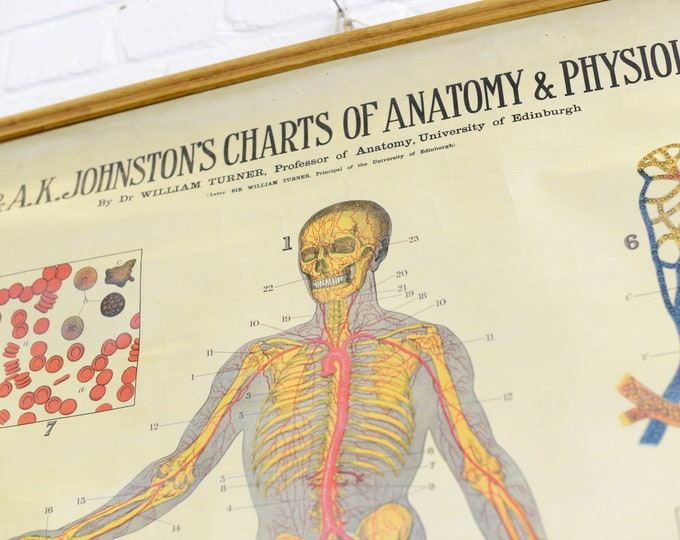 Anatomical Chart By W & AK Johnston Circa 1930s