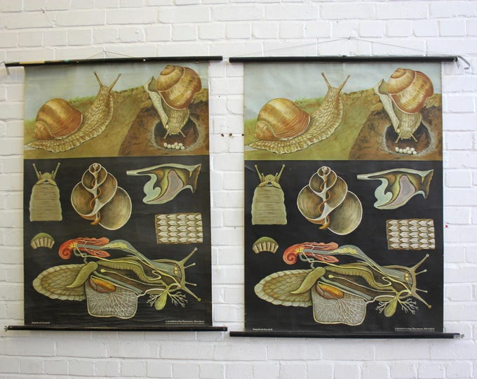 Vintage Mid Century German Educational Chart Snail