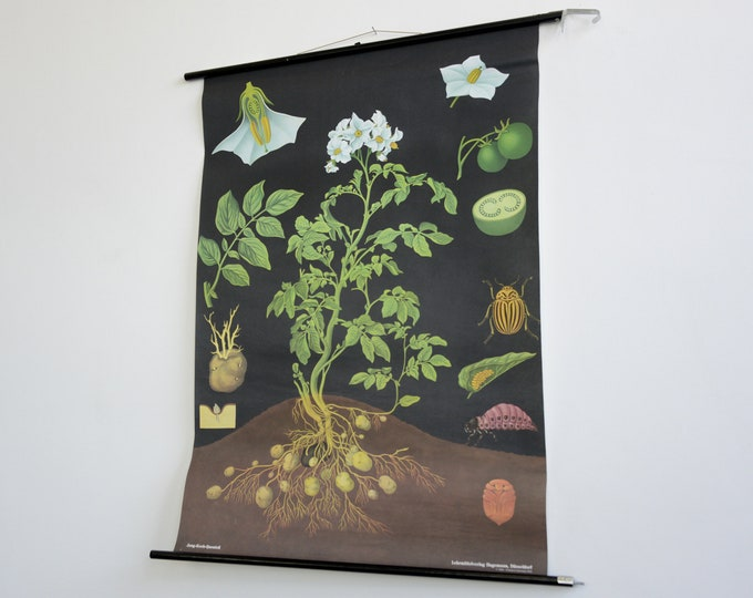 Wall Chart Of The Pea Plant By Jung Koch Quentell