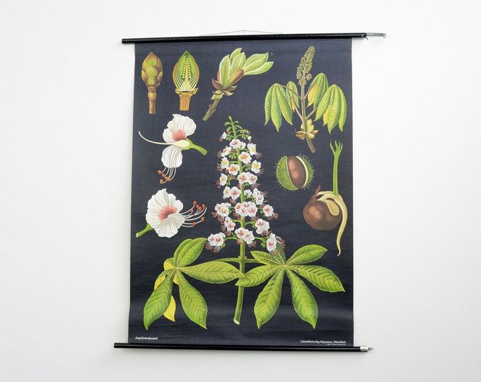 Wall Chart Of The Horse Chestnut By Jung Koch Quentell