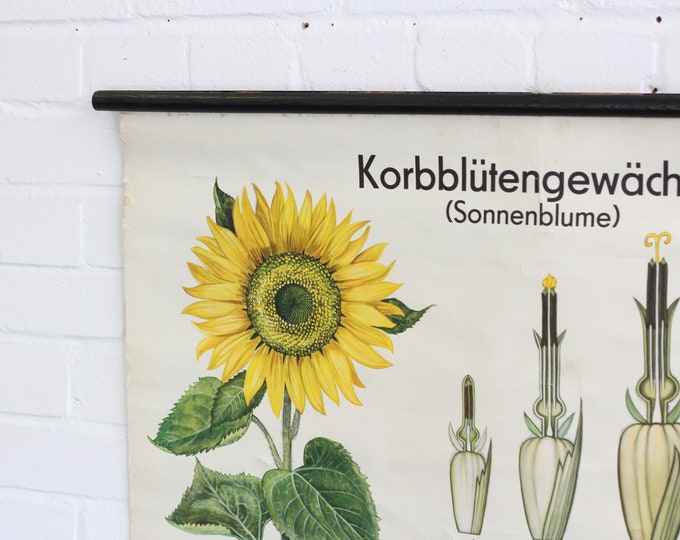 Educational Wall Chart Of The Sunflower Circa 1960s