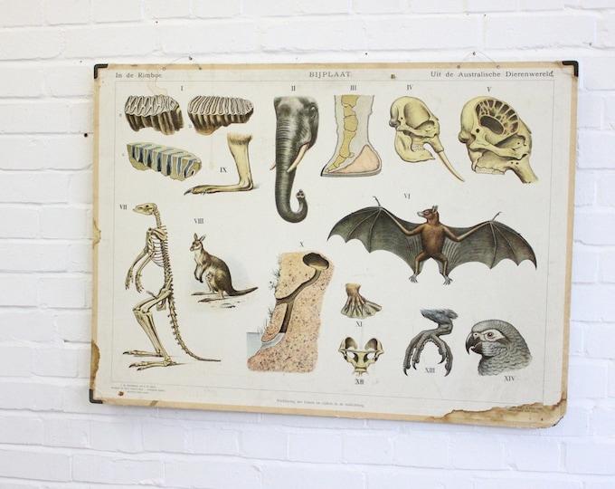 Anatomical Chart Of The Elephant Kangaroo & Bat Circa 1930's