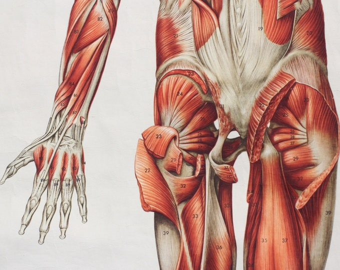 Anatomical Wall Chart Of The Muscles Circa 1960s