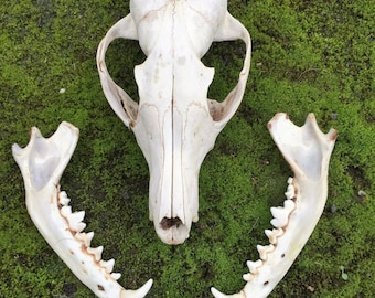 An English Red fox skull and jaw bones
