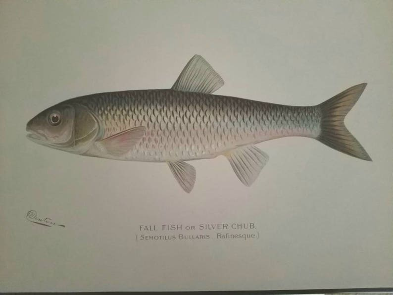 Denton Silver Chub Chromolithograph  Antique Denton Print 1902 Semotilus Bullaris Lithograph Print  Sherman F Fall Fish or Silver Chub