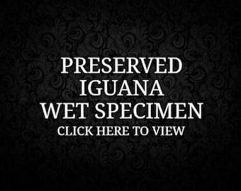 Preserved Green Iguana Wet Specimen