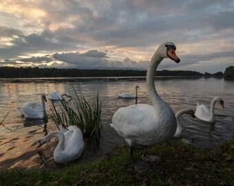 Nature photography, animal photography, swan