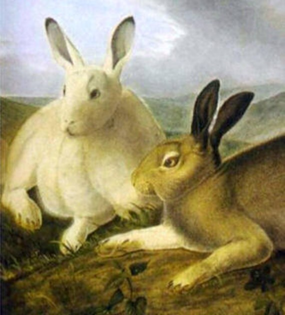 1841 Fine Art Print Audubon Reproductions: Arctic Hare c