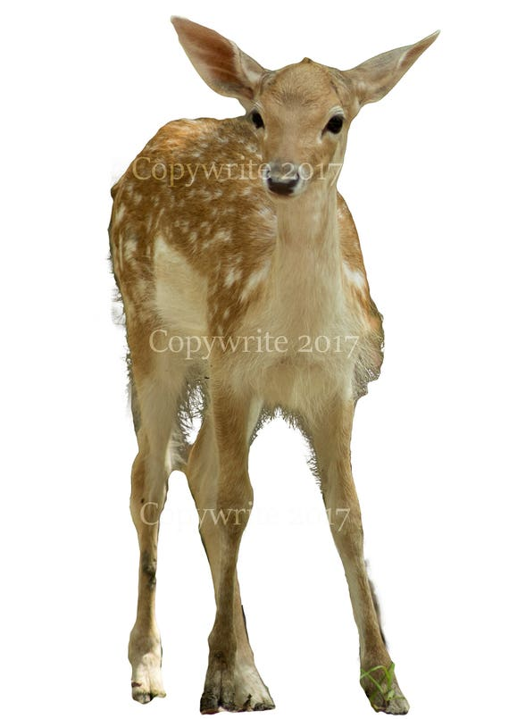 Deer Baby Doe Overlay Transparent Background PNG Photoshop Cut Out Digital  Prop Download
