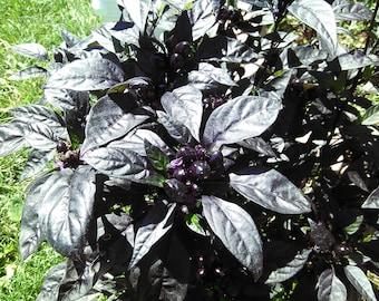 Black Pearl Heirloom Hot Pepper 10 seeds