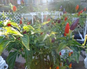 Bolivian Rainbow heirloom  hot pepper 20 seeds