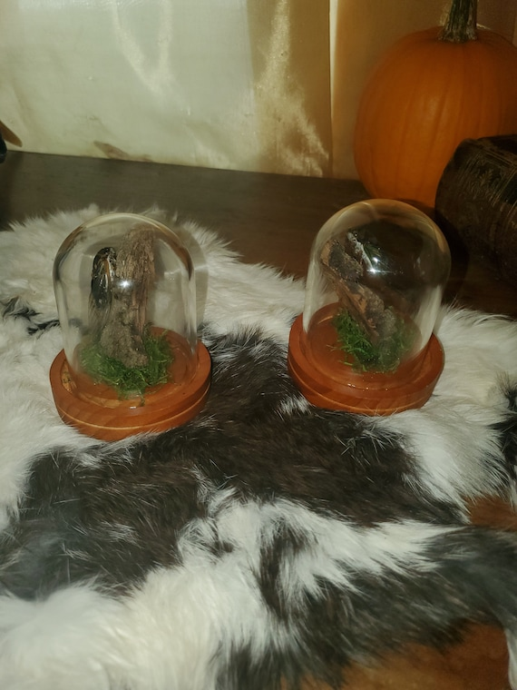 Two cute cicades in a medium sized glass dome