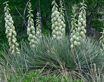 Deer Resistant Soap Weed Yucca Glauca Seeds Cold Hardy Perennial 20 Seeds