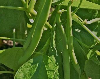 Gemüse 120 Samen Zwerg Französische Bohnen Tendergreen