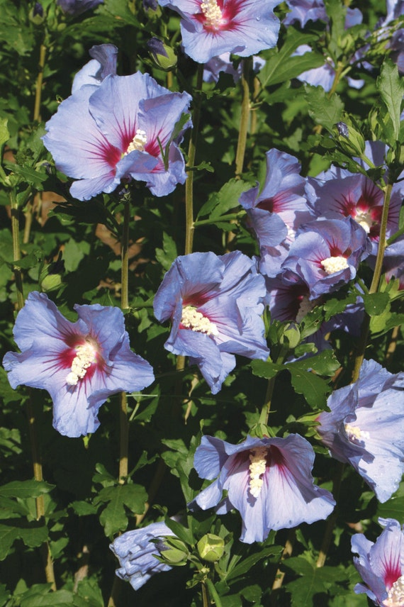 Hibiscus syriacus Violet Satin 100 seeds