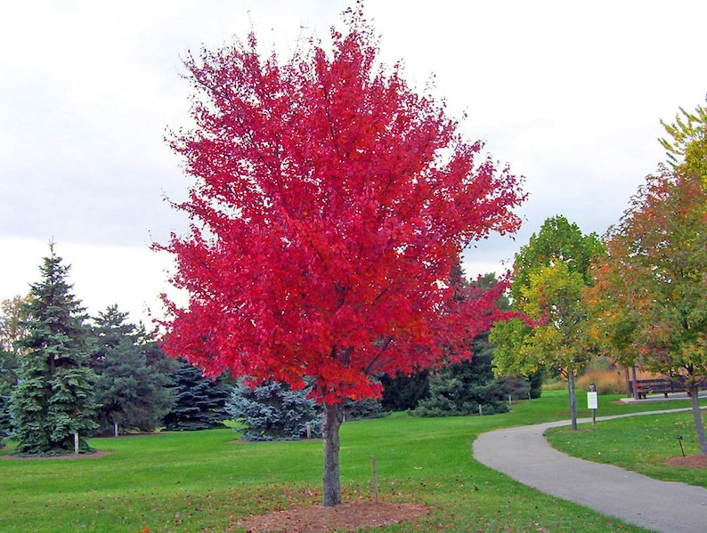 Maple Tree Seeds Red Maple Acer Rubrum Site Tolerant Etsy