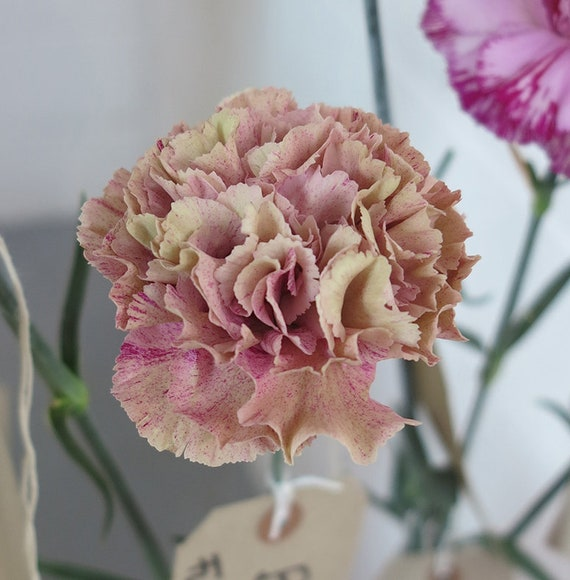 50 Seeds CONDOR Carnation Seeds Great Cut Flowers Easy to Grow