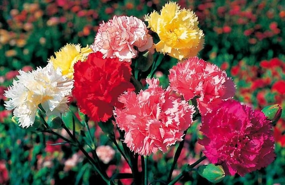 50 Seeds YELLOW CANDY Easy to Grow Carnation Seeds Great Cut Flowers