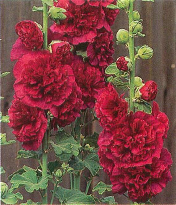 Graines De Rose Tremiere Double Rouge Plante De Jardin De Etsy