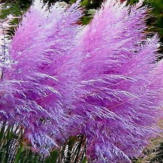 Ornamental Grass Seeds Purple Feather Pampas Great Dried Etsy
