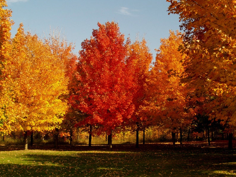 Maple Tree Seeds Sugar Maple Acer Saccharum Produces Etsy
